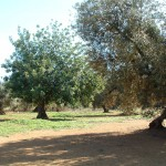 Olivos y algarrobos